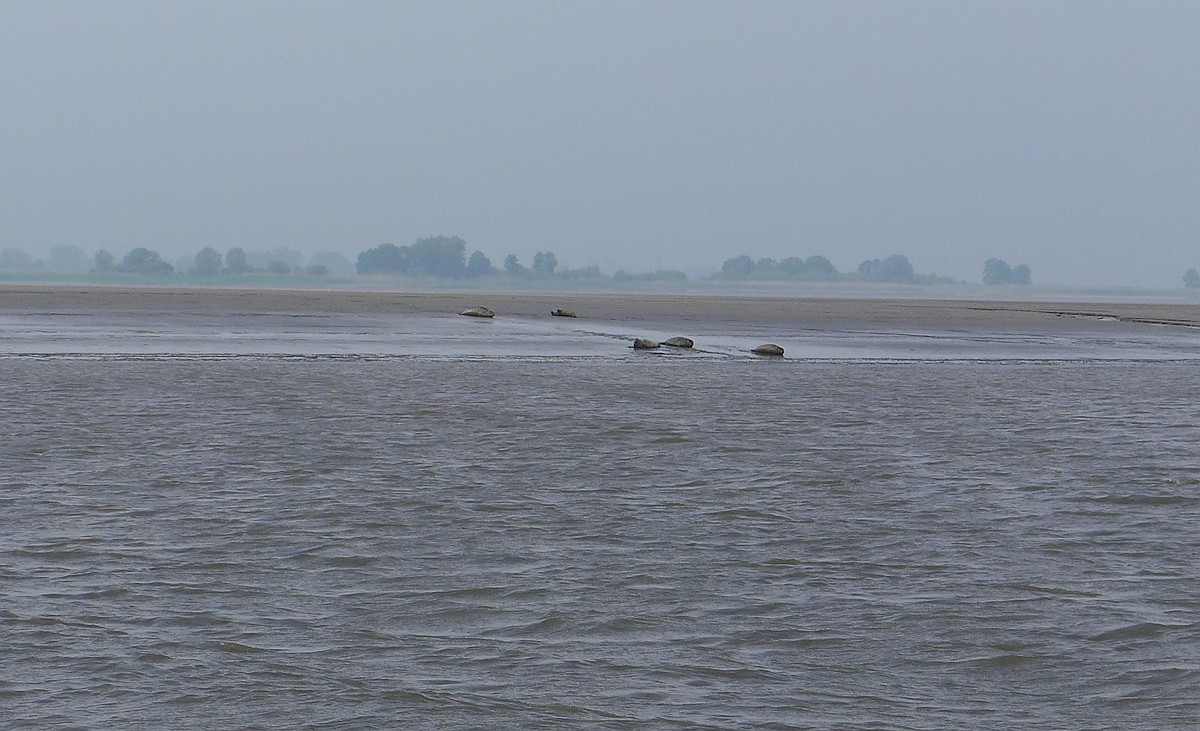 Das war neu für uns, dass man auf den Sandbänken der Elbe Seehunde sichten kann.