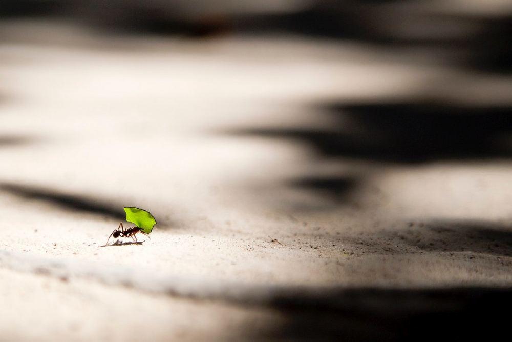 Bild einer Ameise, die ein Blatt trägt, das größer ist als sie selbst.